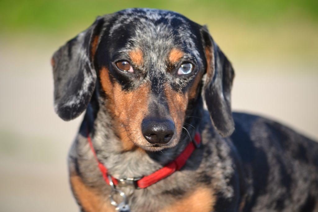 De quels vermifuges pour chien mon Teckel a besoin ?