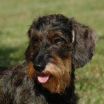 Le Teckel à poil dur : comment le reconnaître